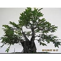 10 Semillas Adenanthera Pavonina árbol de sándalo rojo de percepción de la vida (2)