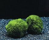 3 Mooskugeln Größe XL 5-7 cm / Cladophora aegagropila - Marimo Ball, winterharte Wasserpflanze