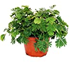 """Mimosa pudica """"Touch-Me-Not"""" - The Plant That Reacts To Your Touch - 9cm Pot"""