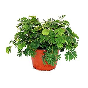 "Mimosa pudica ""Touch-Me-Not"" - The Plant That Reacts To Your Touch - 9cm Pot"