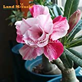 Shopmeeko Graines: 1PCS vrai Deux couleurs Adenium Rose Rouge Fleur Desert Rose, Belle Fleurs Jardin Bonsai usine Bricolage & amp; Balcon