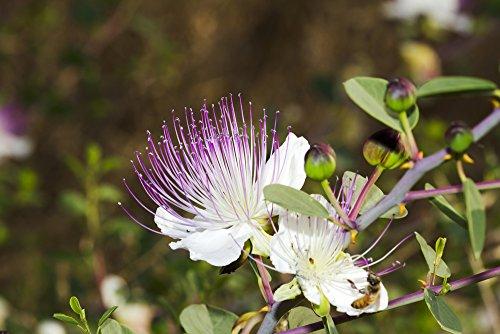 Kapernstrauch 10 Samen (Capparis spinosa)
