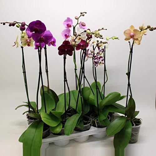 Blumen Senf