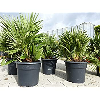 Salix babylonica H/ängeweide Trauerweide 2 T/öpfe
