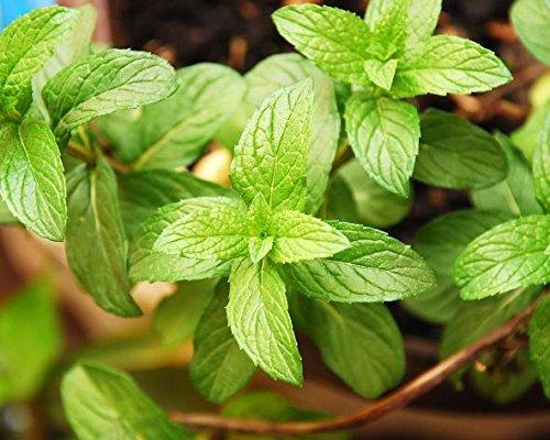 Semi di menta piperita - Mentha piperita - 1800 semi - 1800 semi