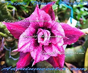 Keimfutter: Adenium Obesum Desert Rose Triple Thistle Purple 20 Samen Frische Neue Hybrid Purple Thistle