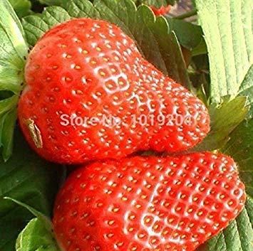 Potseed Promotion Bio BlackBerry Seeds saftig und lecker Mulberry Fruchtsamen Brombeeren Seed Balkon Fruits - 100 Stück Novel See Fo-blackberry