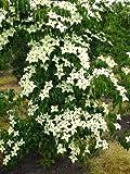 Blumenhartriegel Cornus kousa China Girl 60 cm hoch im 5 Liter Pflanzcontainer
