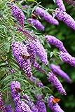 Schmetterlingsflieder 50 Samen (Buddleia Davidii) Butterfly Bush
