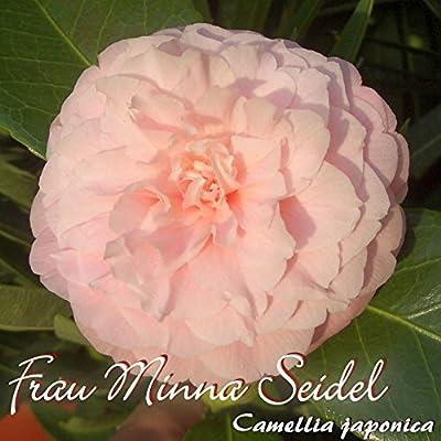 Kamelie 'Frau Minna Seidel' - Camellia japonica - 3-jährige Pflanze von Oleanderhof - Du und dein Garten