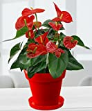 Rolling Nature Exotic Anthurium Red Plant in Red Colorista Pot