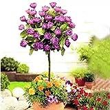 Ncient 50 Semi Sementi di Rosa Cinese Tree Rose Albero 5 Colori Adorabile Semi di Fiori Rari Pianta Profumati per Orto Giardino Balcone Interni ed Esterni
