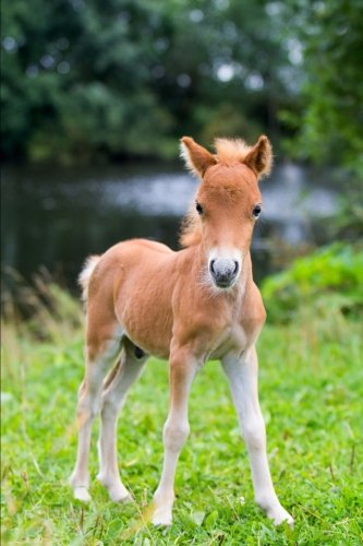 falabella-miniature-horse-journal
