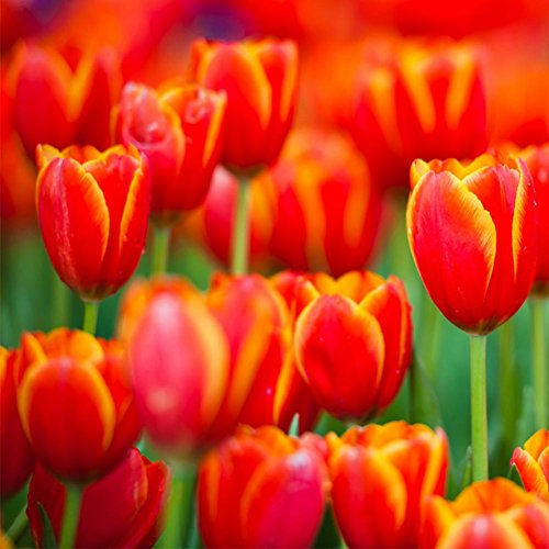 Doubleer 100PCS Perfume Tulip Seed High-grade Flower Bonsai Seeds Tulip Plants Home Garden 8 Colors