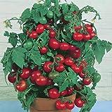 Rote Mini-Tomate 'Tiny Tim' Zwrg Tomate 20 Samen