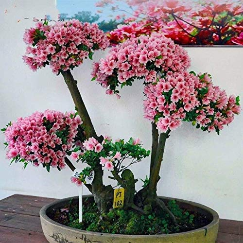Green Seeds Co. 10 Pz/borsa Rare Bonsai colorate Piante Azalea DIY Home & amp; amp; Piante da giardino somiglia a Sakura Japanese Cherry Blooms Pianta di fiori: nera