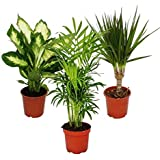 Indoor Plant Mix II Set of 3, 1x Dieffenbachia, 1x Chamaedorea (Mountain Palm) 1x Dracena Marginata (Dragon Tree), 10-12cm Po