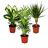 Indoor Plant Mix II Set of 3, 1x Dieffenbachia, 1x Chamaedorea (Mountain Palm) 1x Dracena Marginata (Dragon Tree), 10-12cm Pot
