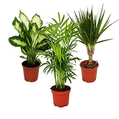 Zimmerpflanzen-Mix II 3er Set, 1x Dieffenbachia, 1x Chamaedorea (Bergpalme) 1x Dracena marginata (Drachenbaum), 10-12cm Topf, Grünpflanzen Set