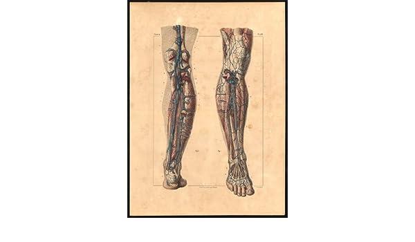 Original Anatomy Print-Arterie, Tiefe-Bein-Venen-Pl. 58-Bourgery ...