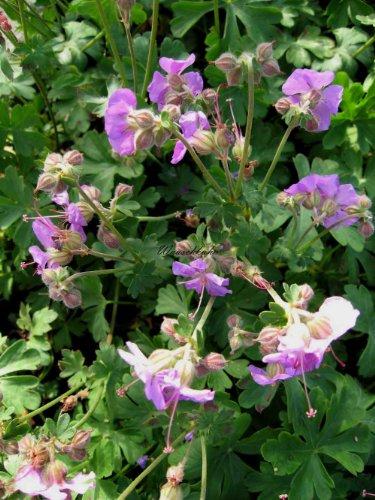 Garten-Storchschnabel Farbe