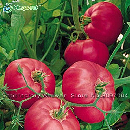 Neuankömmling! Seltene Big Obst Tomate Samen, Balkon Obst Samen Gemüse Topf Bonsai Topfpflanze Tomatensamen 100 Samen / Packung