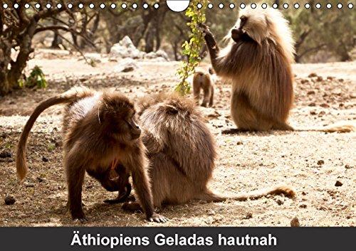 Äthiopiens Geladas hautnah (Wandkalender 2015 DIN A4 quer): Die nur im Hochland Äthiopiens vorkommenden Geladas (Blutbrustpaviane)  beeindrucken durch ... der Brust. (Geburtstagskalender, 14 Seiten)