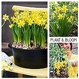 Plant & Bloom - Bulbos de flores, Narcisos Cyclamineus de Holanda - 35 bulbos, plantación en otoño, fáciles de cultivar, floración primaveral - Amarillo - Calidad superior holandesa