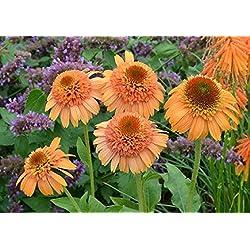 Echinacea 'Supreme Cantaloupe' Blumensamen, 50 Samen / Pack, Orange Rot Sonnenhut KK049