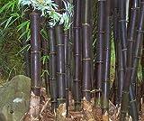 Schwarzer Bambus Riesenbambus Bambussamen Dendrocalamus strictus 100 Samen
