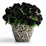 100 graines noires Petunia --Black velours pétunia, variété rare, rustique, balcon durable, jardin de fleurs Livraison gratuite...