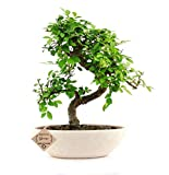 #10: Abana Homes Chinese Elm Bonsai Live Plant with Pot - Home Decor | Perfect Diwali Gift