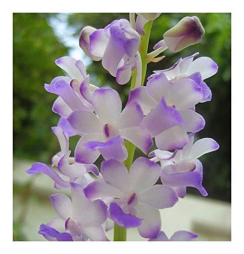 Rhynchostylis coelestis - orchidées - 100 graines