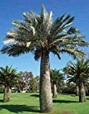 Portal Cool Jubaea Chilensis Coquito De Chile Palm 5 Seeds
