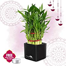 Nurturing Green 3-Layer Bamboo Tree Plant with Black Ceramic Pot (Lucky Bamboo Plants for Gifting, Home & Office Decor) | 2 FREE tea lights | Diwali Bamboo Gifts