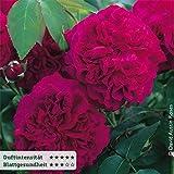 Englische Rose 'William Shakespeare' von David Austin - karmesinrot blühende, intensiv duftende Topfrose im 6 L Topf - frisch aus der Gärtnerei - Pflanzen-Kölle Gartenrose