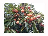 Sharon Fruit árbol o Kaki, japonés Caqui diospyros Kaki, Sweet, frutas, grandes hojas de cuero, rojo Otoño colores, Hardy