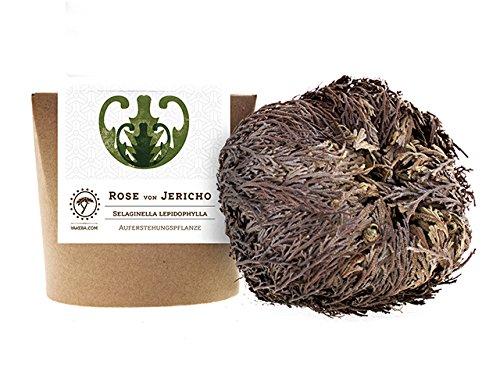 Yakeba | Rose von Jericho | Selaginella lepidophylla | Mittel | Geschenkkarton