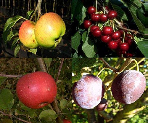 4er Set Obstbäume Apfelbaum Kirschbaum Pflaumenbaum Elstar Cox Orange Lapins Hauszwetsche