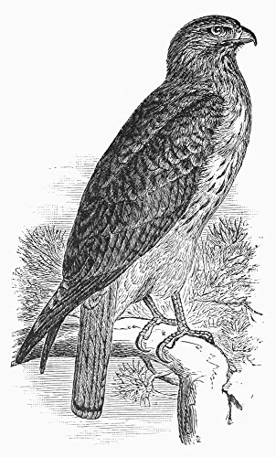The Poster Corp Red-Tailed Hawk 1890. /Nline Engraving 1890. Kunstdruck (45,72 x 60,96 cm)