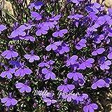 100pcs Lobelia pendula 'Monsoon' Semi Balcone Bonsai di fiori in vaso Bella fai da te della casa del fiore della pianta di giardino