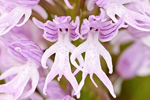 orchis-italicao-itanica-naked-man-orchid-italian-orchid-fresh-50-100-seeds-new