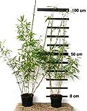 4 x Bambus Fargesia rufa winterhart und schnell-wachsend, 70-90 cm hoch