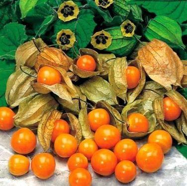 aimado sementi giardino - 50pcs bio semi di alchechengi del perù sementi frutta ideali per creare eleganti decorazioni per dolci, realizzare gelati, deliziosi dessert