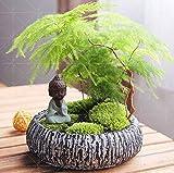 Shopmeeko 10 Pezzi di asparagi (Spargel Setaceus) – Piccoli Bonsai di bambù setosi asparagi, Pulire l' Aria nel Vaso.