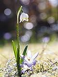 Artland photo premium glasbilder verre motif plantes et fleurs en polyrotin: uta naumann neige/nivéole de printemps et hofstaat dimensions: 80 x 60 cm-nord