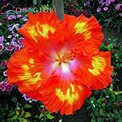 Shopmeeko Im Angebot!100 stücke Hibiskus bonsai 24 arten mischen farbe schöne rosa-sinensis blume bonsai mehrjährige blume baum topf garten plan: hellgrau