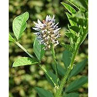 Asklepios-seeds® - 1000 Semillas de Glycyrrhiza glabra Regaliz, Orozuz, orosús
