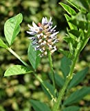 Asklepios-seeds® - 200 graines de Glycyrrhiza glabra,réglisse, réglisse glabre