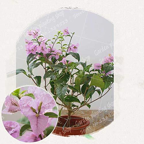 ferry 50pcs / bag bouganville bonsai fiore pianta messa a dimora in vaso giardino di casa decorazione albero pianta bouganville fiore: 12